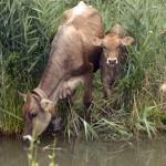 01/07/2008 PIANURA PONTINA . ANIMALI AL PASCOLO LUNGO UN CANALE FOTO DI MIMMO FRASSINETI/AGF